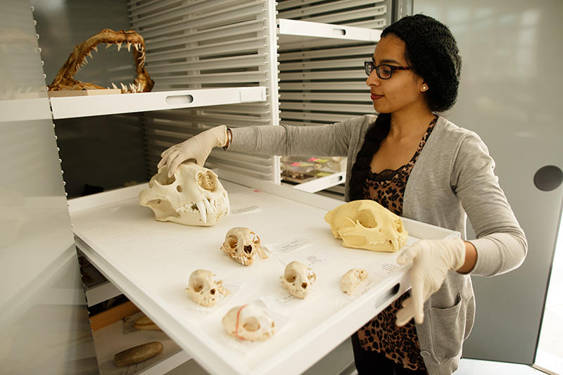 Biology student examining various animal skulls